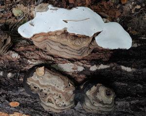 Platticka (Ganoderma applanatum)_RP34_2094